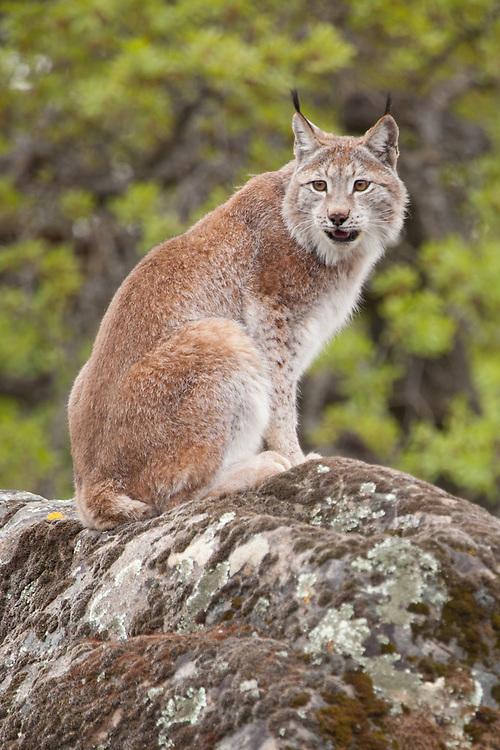 Siberian Lynx sitting on a lichen covered rock - CA