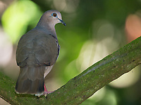 This dove was perched under the canopy next to a motmot.