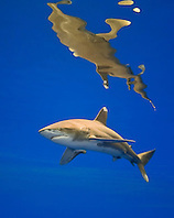 oceanic whitetip shark, Carcharhinus longimanus, threatened spcecies, Kona Coast, Big Island, Hawaii, USA, Pacific Ocean