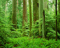 Old Growth Douglas Fir Trees with young hemlock trees.  Pacific Northwest.