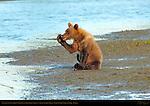 Alaskan Coastal Brown Bear Cub Whispering Secrets, Silver Salmon Creek, Lake Clark National Park, Alaska