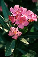 Oleander, Nerium oleander, Oleander, Rosebay