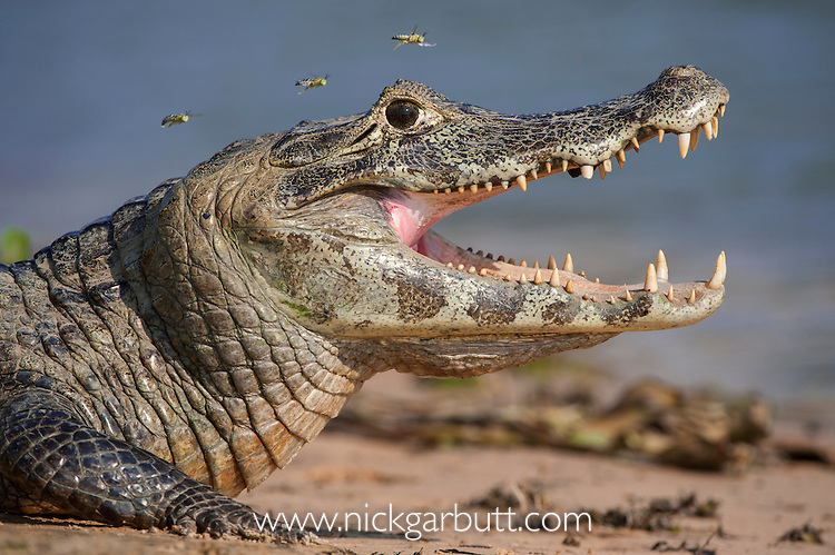 Yacare Caiman (Caiman yacare) with attendant hoverflies at the edge of the Paraguay River, Taiama Reserve, western Pantanal, Brazil. Gaping to regulate its body temperature (thermoregulation).