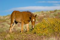 Baby Wild horse, Equus ferus, Nevada