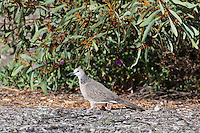 Spotted Turtle-Dove, Arid Lands Botanic Garden, Pt Augusta, Australia