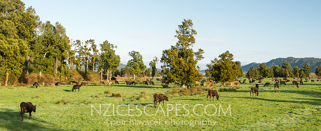 Morning on farmland in Whataroa with cows, West Coast, South Westland, New Zealand, NZ