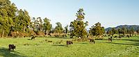 Morning on farmland in Whataroa with cows, West Coast, South Westland, New Zealand, NZ