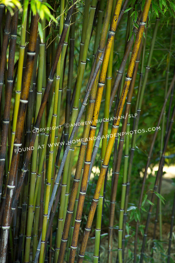 """Detail of vertical stalks of Black Bamboo, Phyllostaches nigra.  Black bamboo grows to a max. height of roughly 30 feet and is hardy to roughly USDA zone 6.  New stalks, or culms, take 1-2 years in full sun to turn black and can eventually reach roughly 2"""" in diamter.  Once established, it is drought-tolerant."""
