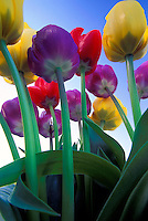 Colorful view of growing tulips.