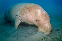 dugong or sea cow feeding, Dugong dugon, Vanuatu (S. Pacific Ocean)