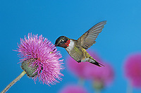 Ruby-throated Hummingbird, Archilochus colubris,male feeding on Texas Thistle (Cirsium texanum) , Welder Wildlife Refuge, Sinton, Texas, USA