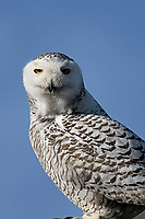 Snowy Owl, Odessa Texas, January