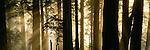 Sun rays in Redwood National Park, California