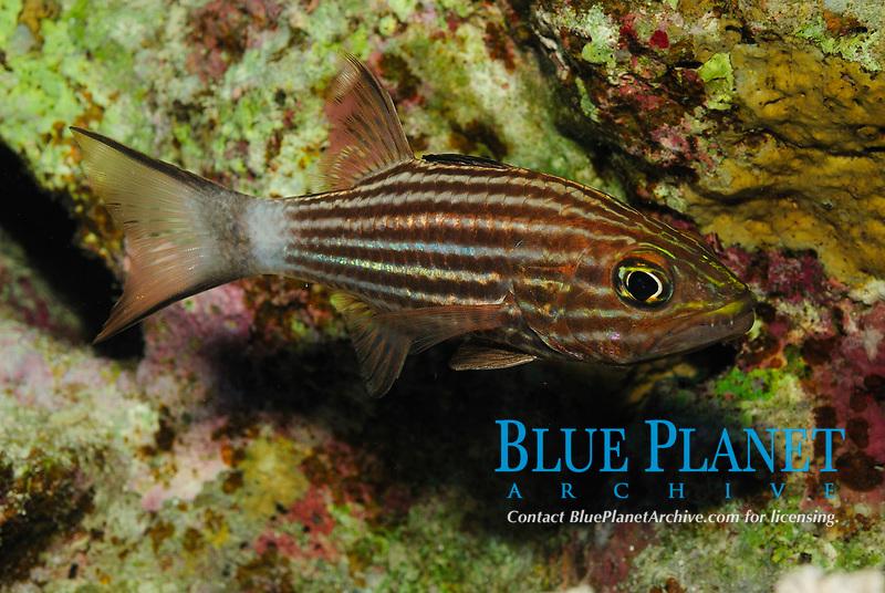 Tiger cardinalfish, latin name Cheilodipterus macrodon, off Safaga coast, Red Sea, Egypt,