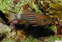 Tiger cardinalfish, latin name Cheilodipterus macrodon, off Safaga coast, Red Sea, Egypt,