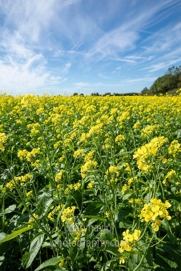 Cover crop in flower  - Lincolnshire, September