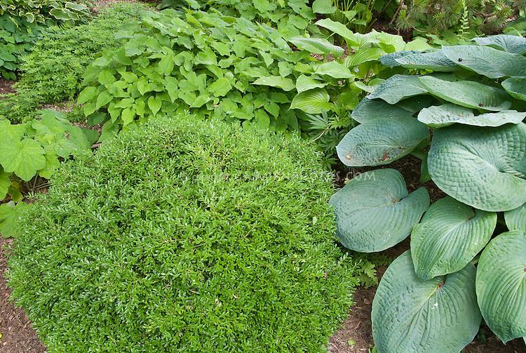 Shady garden perennials: rounded boxwood Buxus Green Velvet, hostas, epimedium, Galium odoratum sweet woodruff, ferns, Heuchera villosa