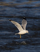 Adult ring-billed gull in nonbreeding plumage