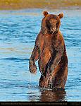 Alaskan Coastal Brown Bear, Male Standing at Sunset, Silver Salmon Creek, Lake Clark National Park, Alaska