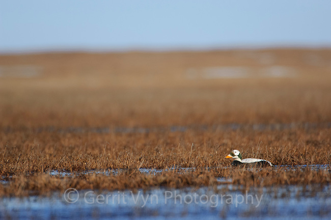Adult male Spectacled Eider (Spectacled Eider) swimming in a shallow tundra marsh. Nome, Alaska. June.