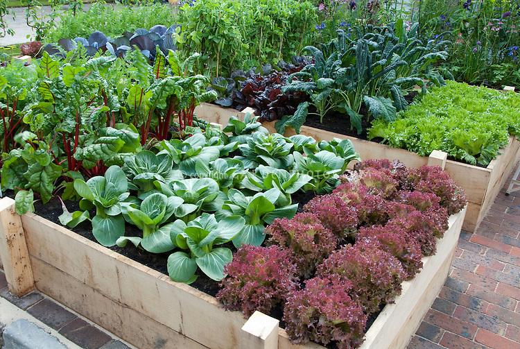 Raised Bed Vegetable Garden in Backyard, New Red Fire lettuce