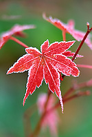 Japanese maple with frost. Near Alpine, Oregon.