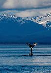 Alaska, Humpback Whale, whale tail, Icy Straits, Point Adolphus, Chichagof Island, the Inside Passage, Southeast Alaska, Megaptera novaeangliae, USA.