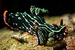 Lembeh Strait, Indonesia; a mating pair of Kubaryana Nembrotha nudibranchs