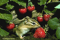MA02-038z    Chipmunk - eastern eating strawberries (honeyoke variety) - Tamias striatus