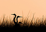 Photograph of  three of tri-colored herons as they sit on their nests and stick their heads above the tall salt marsh grass to watch for danger in Wakulla County, Florida south of Tallahassee.