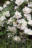 Shrub rose 'Sally Holmes' in John Greenlee's Pomona garden meadow May 2007