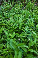Smilacina stellata, slim or false Solomon's seal flowering groundcover California native plant