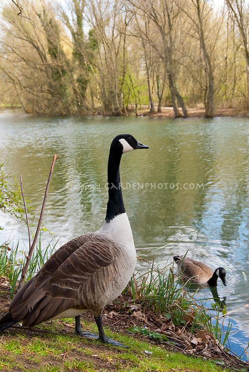Canada Goose geese birds animal on water lake pond