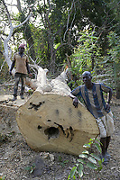 SENEGAL, Casamance, Ziguinchor, deforestation, tree logging in Diola tribe village / Abholzung, Handel mit illegalem Holz, gefällter Baum