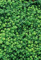 Stonecrop Sedum divergens groundcover