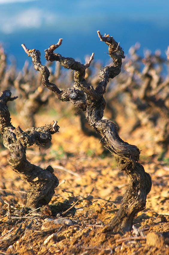 Domaine Jean Baptiste Senat. In Trausse. Minervois. Languedoc. Vines trained in Gobelet pruning. Old, gnarled and twisting vine. Carignan grape vine variety. Vineyard in winter. France. Europe. Vineyard.