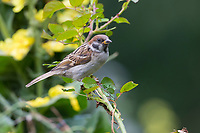 Feldspatz, Jungvogel, Feld-Spatz, Feldsperling, Feld-Sperling, Spatz, Spatzen, Sperling, Passer montanus, tree sparrow, sparrow, sparrows, Le Moineau friquet