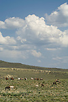 Native American horse remuda rough stock for the Jordan Valley, Ore., Big Loop Rodeo graze on a surrounding hillside
