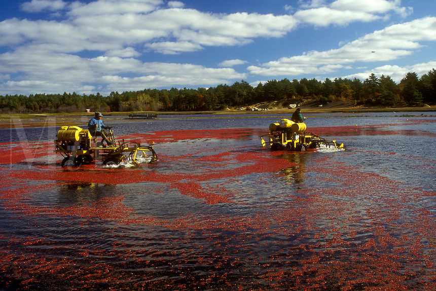 cranberry, Massachusetts, South Carver, A machine loosens cranberries in the bog for the wet harvest.