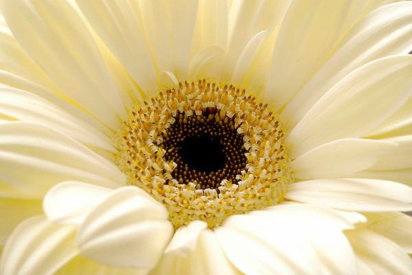 Daisy Photos. Floral Photos and Photography. Marc Caryl Nature Photos.