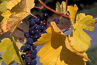 Ripe Red Grapes hanging on Vine, South Okanagan Valley, BC, British Columbia, Canada