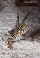 1105-0903  Panther Gecko (Pictus Gecko), Paroedura picta  © David Kuhn/Dwight Kuhn Photography