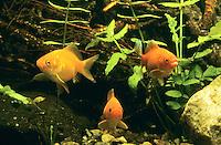 Goldfisch, Goldfische, Carassius auratus, Carassius auratus auratus, Carassius gibelio, goldfish