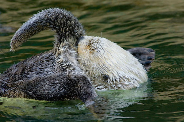 Sea Otter (Enhydra lutris) getting oil to clean fur.