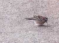 Rustic Bunting on 5/11/16.  The Hawfinch, Rustic Bunting, were all in close vicinity to one another.