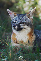 Gray Fox, Urocyon cinereoargenteus, adult, Hill Country, Texas, USA, June 2007