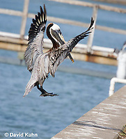 0828-0905  Flying Brown Pelican Preparing to Land, Pelecanus occidentalis © David Kuhn/Dwight Kuhn Photography
