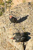 California Condors (Gymnogyps californianus).   Western U.S.