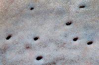 great white shark, Carcharodon carcharias, detail of ampullae of Lorenzini sensors, South Australia, Australia