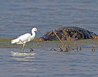 Snowy egret feeding very near an alligator
